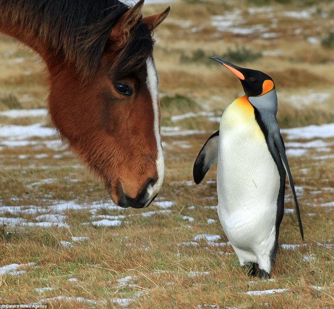 A Herd Of Fuzzy Horses Accept This Solo Penguin As One Of Their Own4