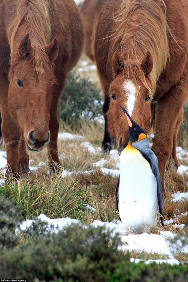A Herd Of Fuzzy Horses Accept This Solo Penguin As One Of Their Own6