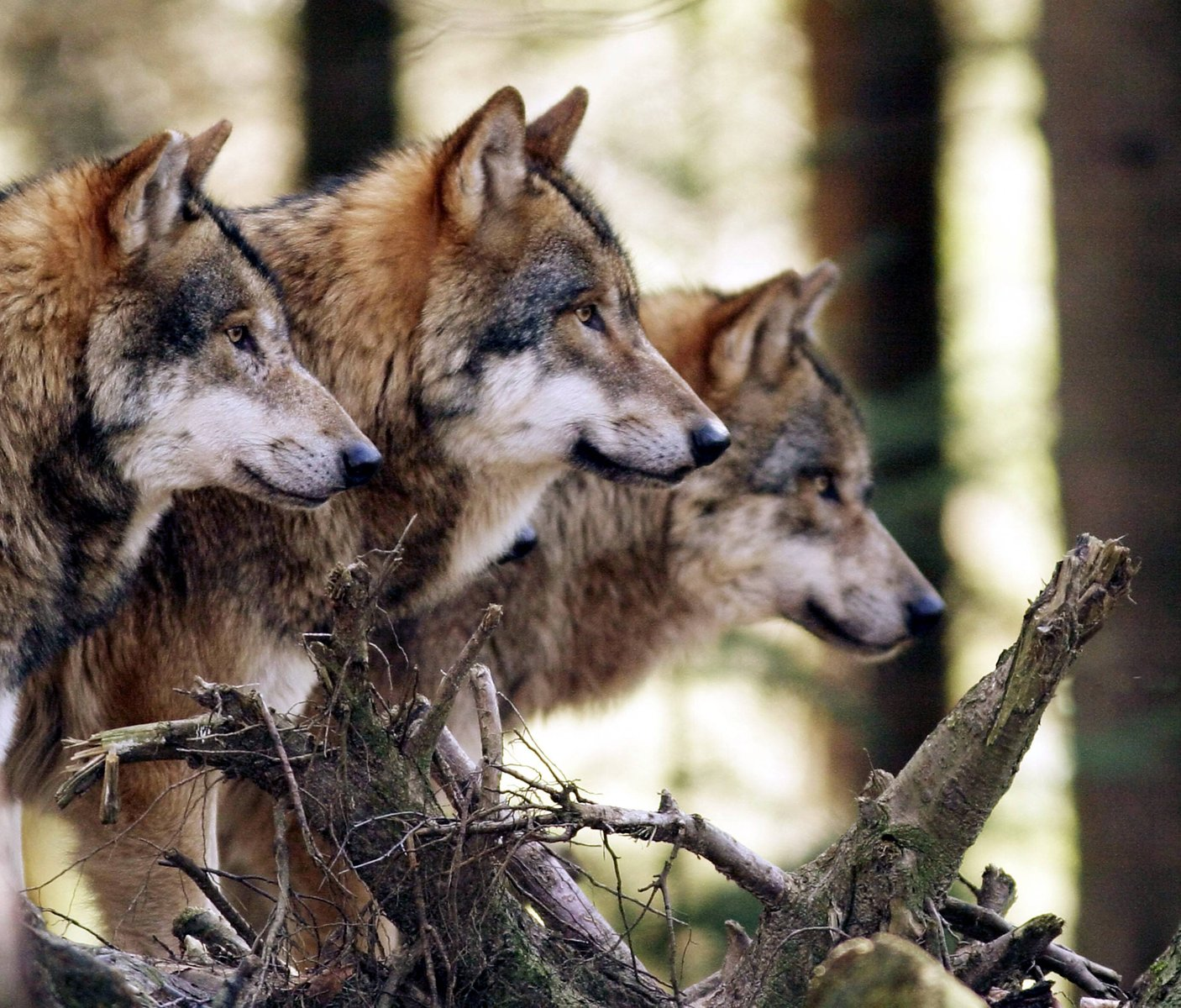 A beautiful photo of a wolf pack.