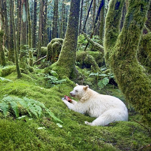 An elusive and rare Kermode Bear