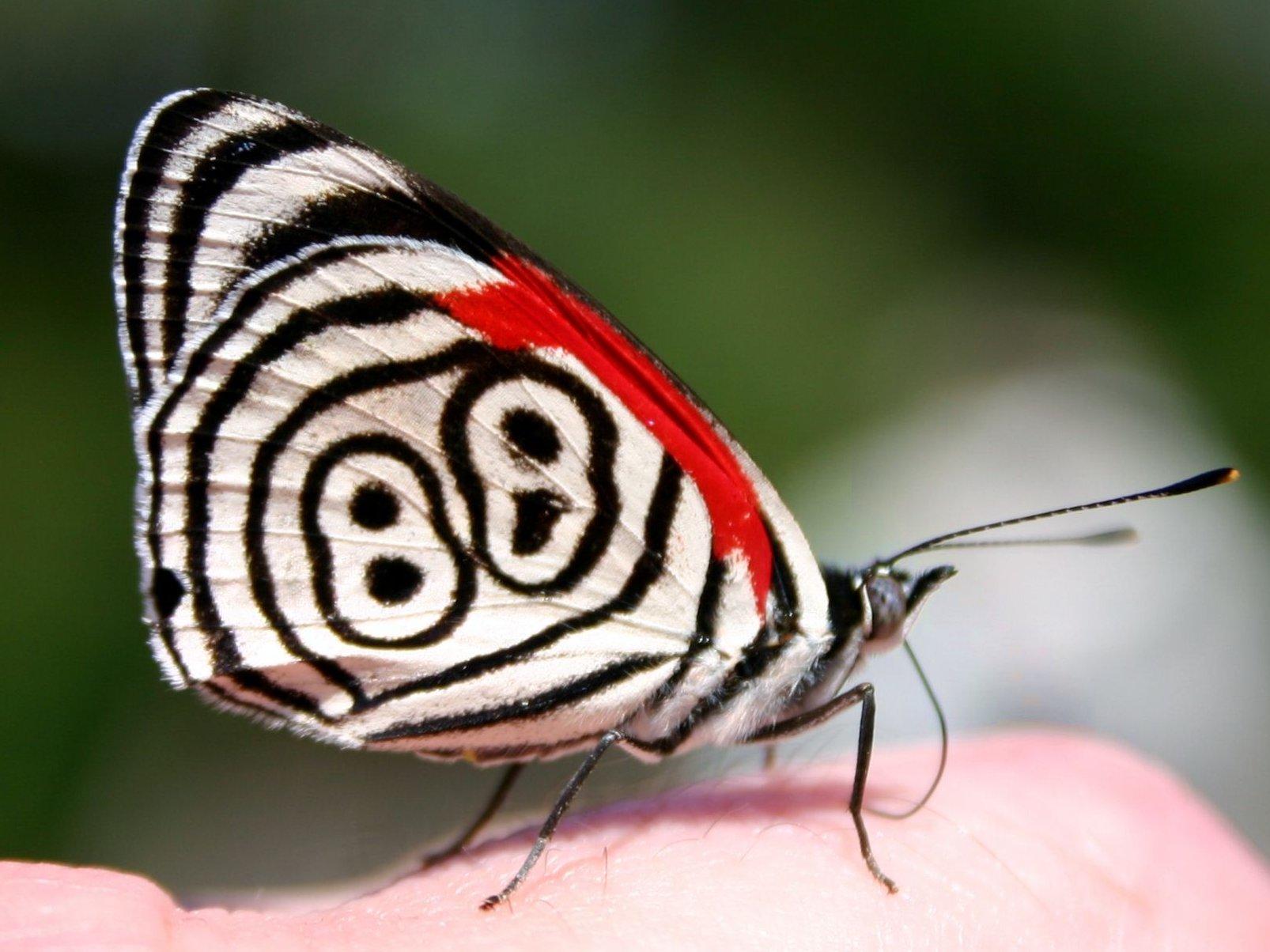 Anna's Eighty-eight Butterfly