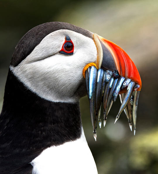 Closeup of a puffin with a mouthful of sand eels…