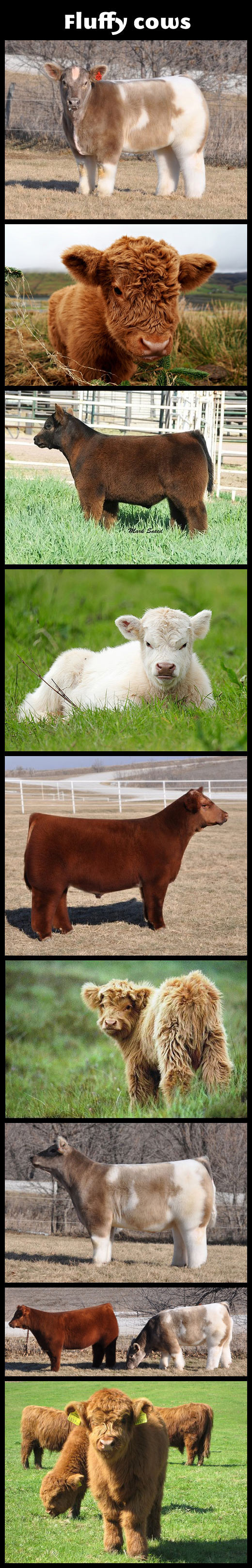 Fluffy Cows…