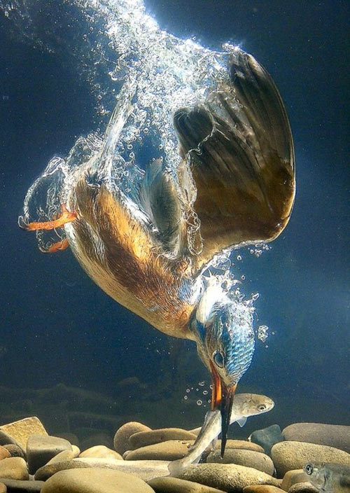 King fisher in action…