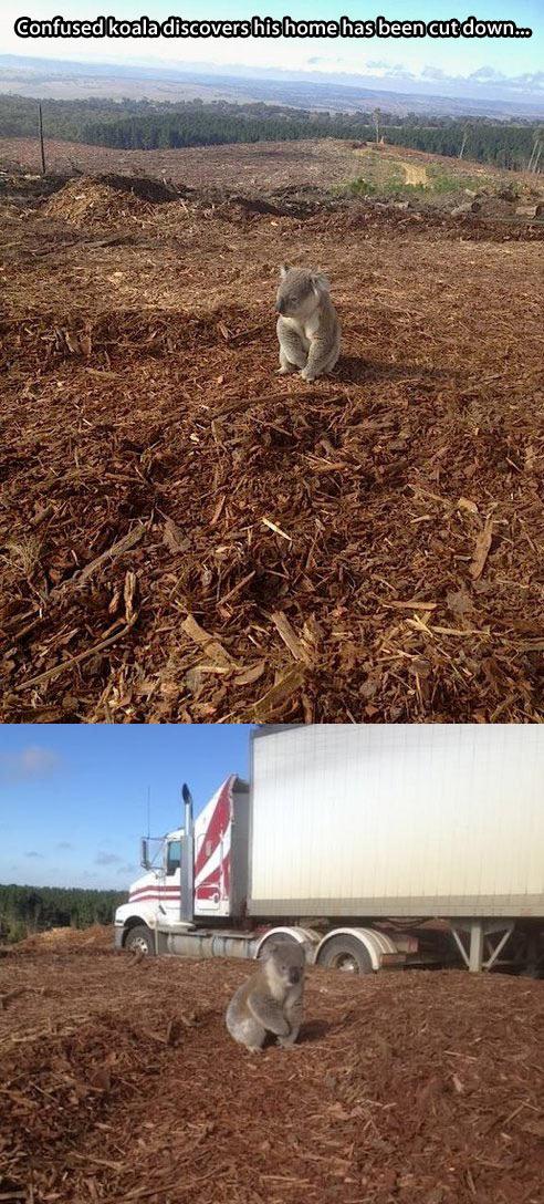 Poor koala…