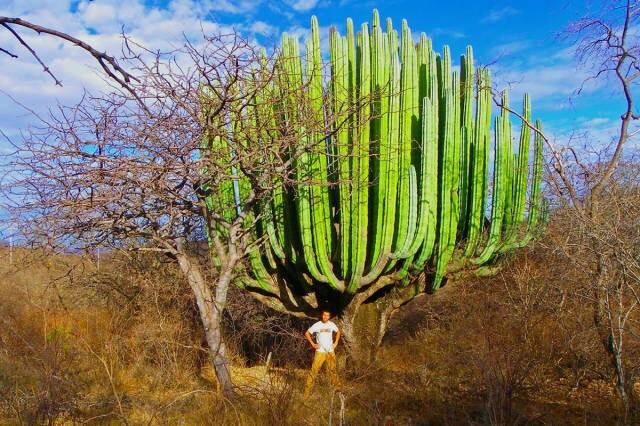 Really big Cactus