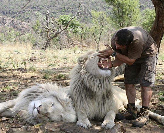 The 'Lion Whisperer' Kevin Richardson plays with a White Lion