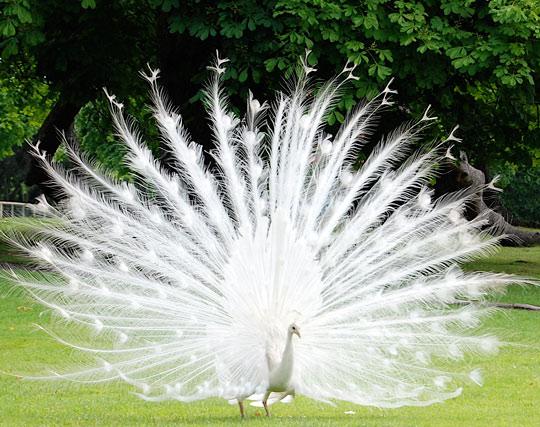 The marvelous albino peacock