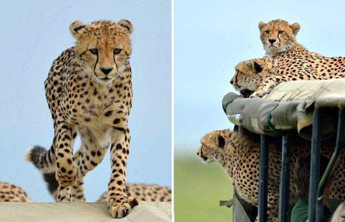 cheetah_climbed_car_01