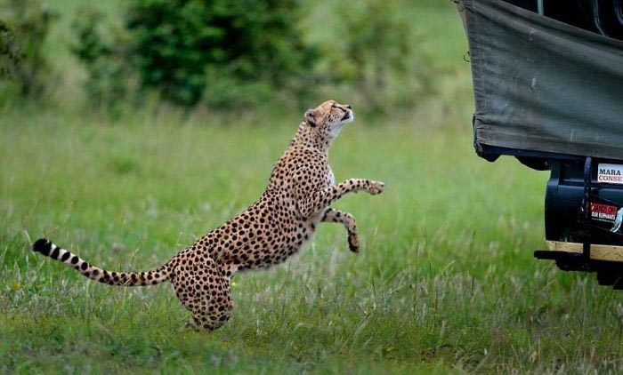 cheetah_climbed_car_02