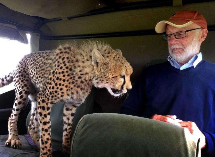 cheetah_climbed_car_04