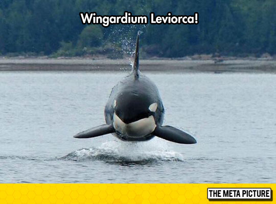 funny-Orca-whale-floating-water