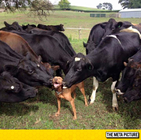 funny-cows-kissing-dog-happy