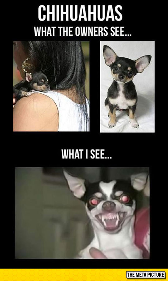 Truth About Chihuahuas