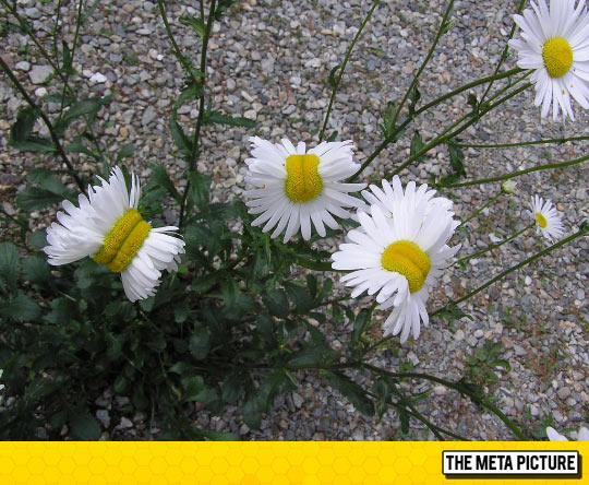 Mutant Daisies From The Fukushima Disaster Site