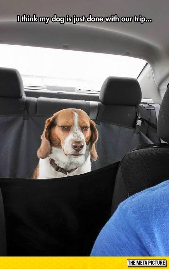 funny-dog-car-mad-face