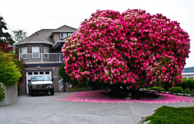 125 Year Old Rhododendron Tree