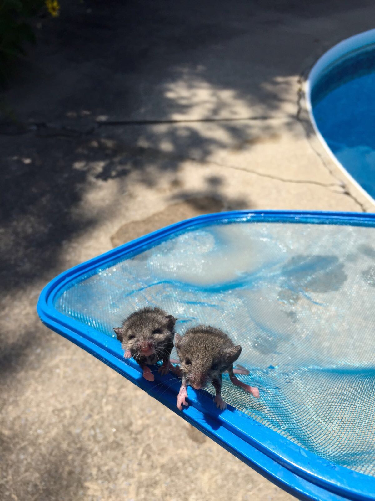 A bit unconventional but I rescued these two grateful little guys from my pool