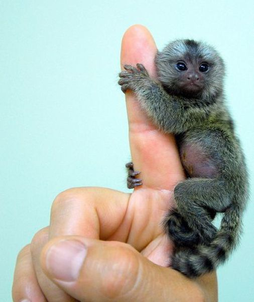 A full grown monkey the size of my finger.