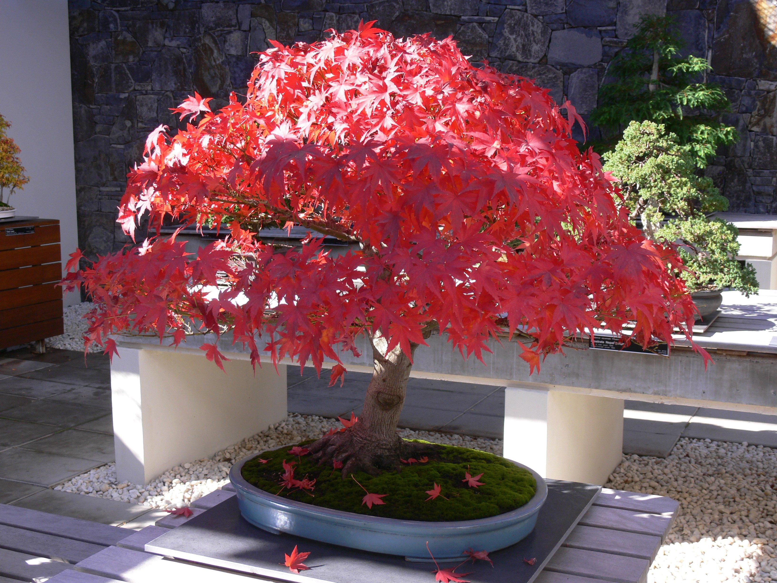 Bonsai in Autumn