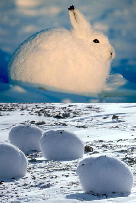 Cute Arctic Hare