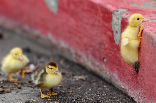 Rock Climbing Ducky