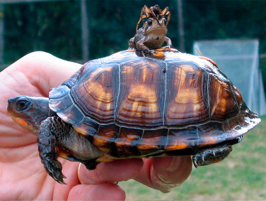 Spider on a frog on a turtle!