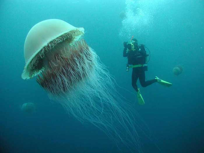 The Lion's Mane Jellyfish, the largest jellyfish in the world.