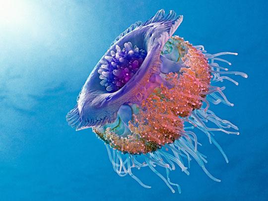 The stunning Crown Jellyfish