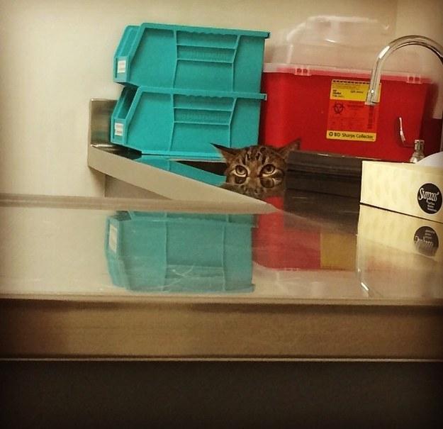 cats_hiding_from_vet_14