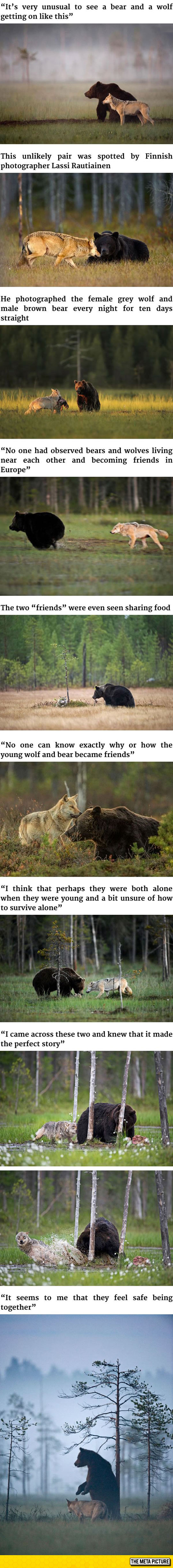 cool-bear-wolf-playing-together-friends