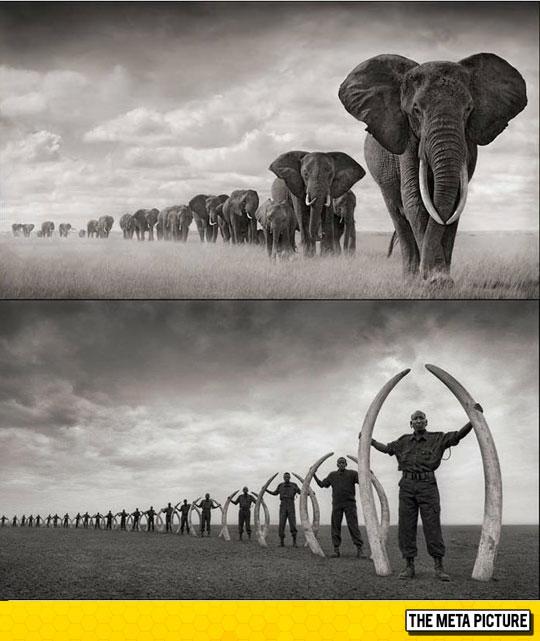 cool-elephant-tusk-Africa-ivory