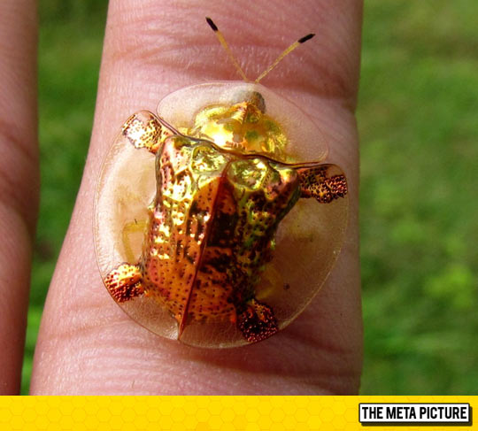 cool-golden-tortoise-beetle-insect