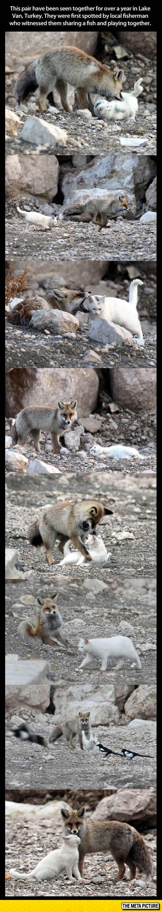 cute-cat-fox-best-friends-Turkey