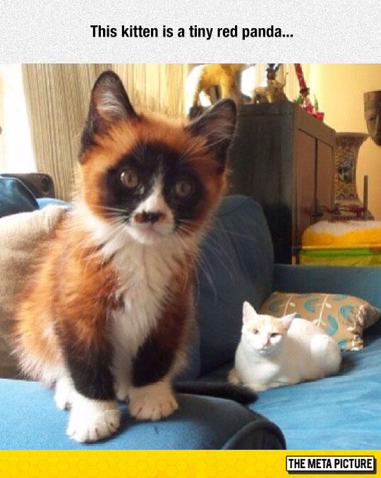 cute-cat-red-panda-colors