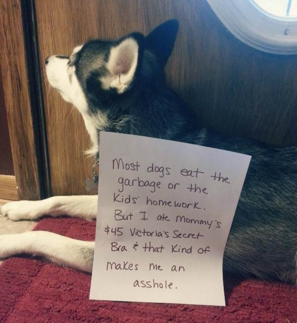 dog-shaming-pictures-bra