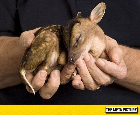 Tiny Newborn Fawn