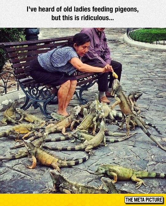 funny-woman-feeding-iguanas-park