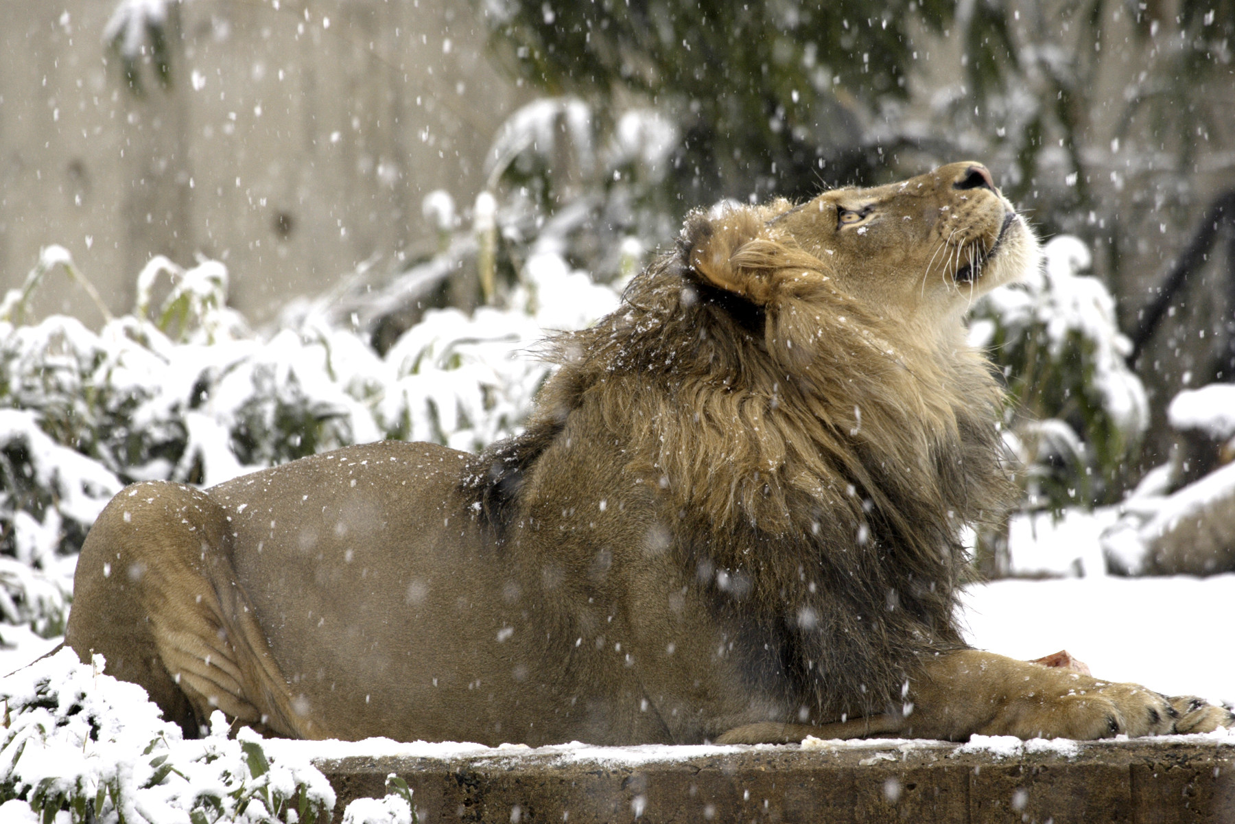lion watching falling snowflakes at Smithsonian Zoo.