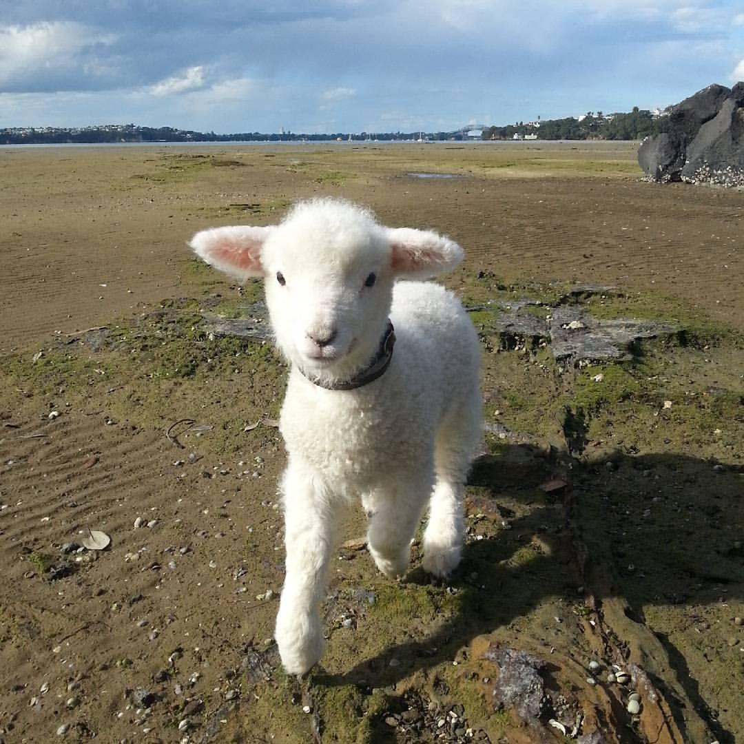 A Friends New Baby Lamb