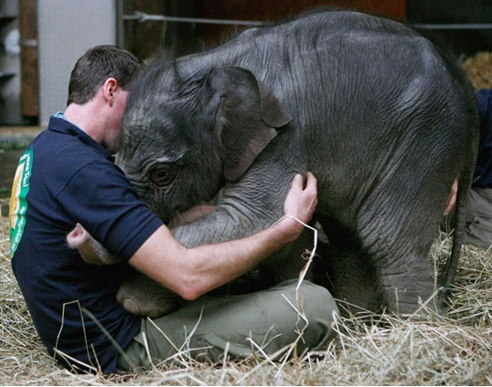 Baby Elephant Greets Her Keeper At Hellabrunn Zoo