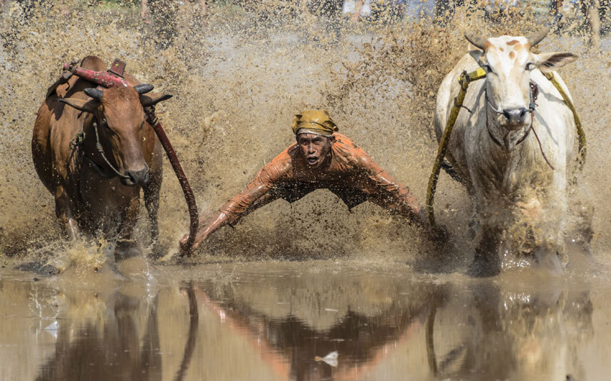 Cattle Racing