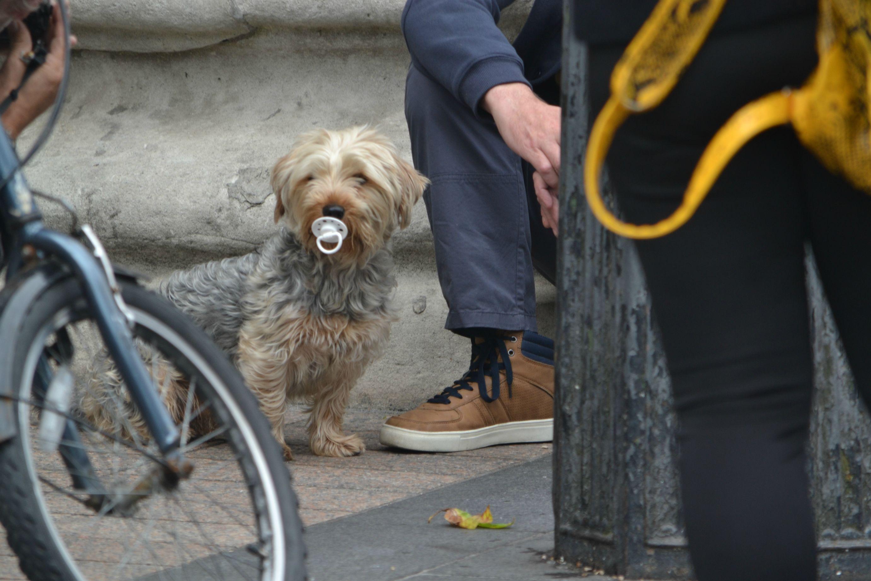 Dog sucking pacifier in Dublin, Ireland