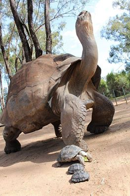 Galapagos tortoise with her babies!