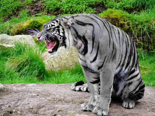 The Maltese Tiger