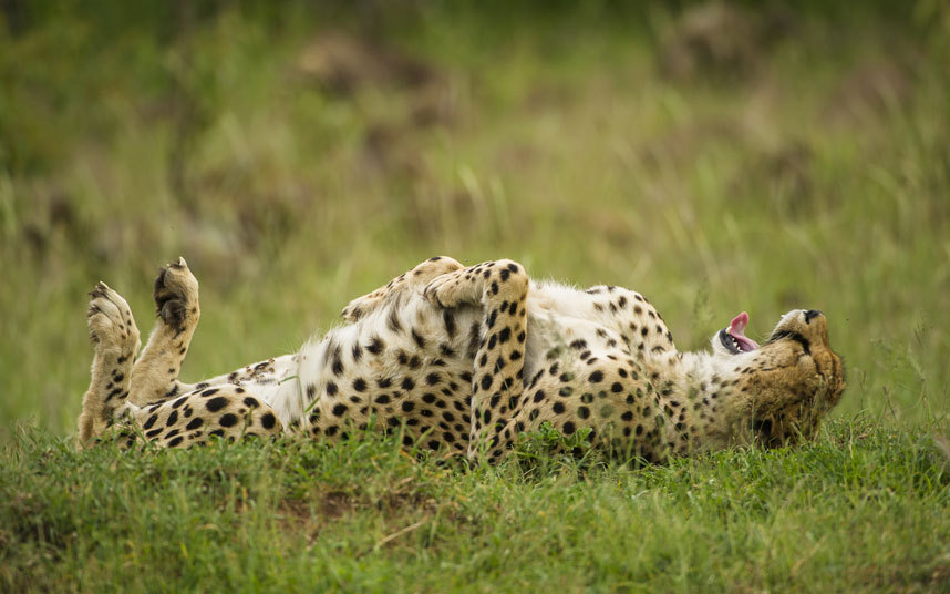 The chillest cheetah