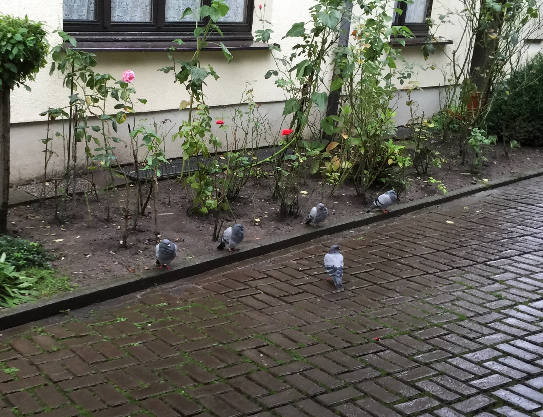 Today I interrupted a secret Pigeon-Army briefing.