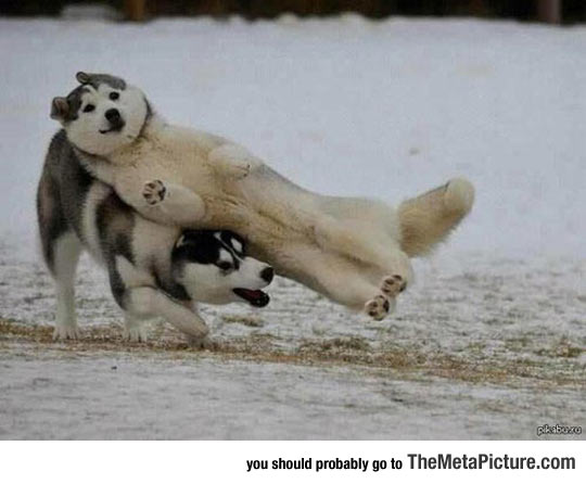 cool-Huskies-dog-playing