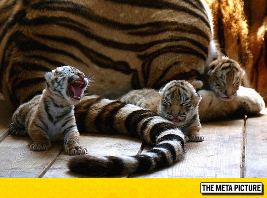 cool-baby-tiger-roaring