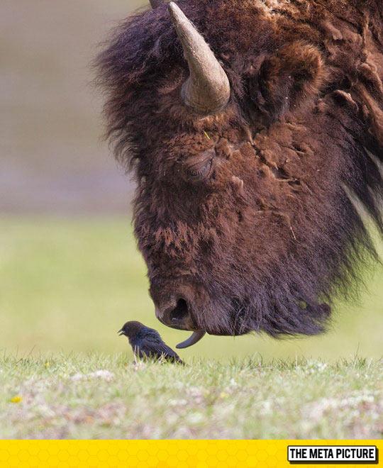 cool-bison-licking-bird